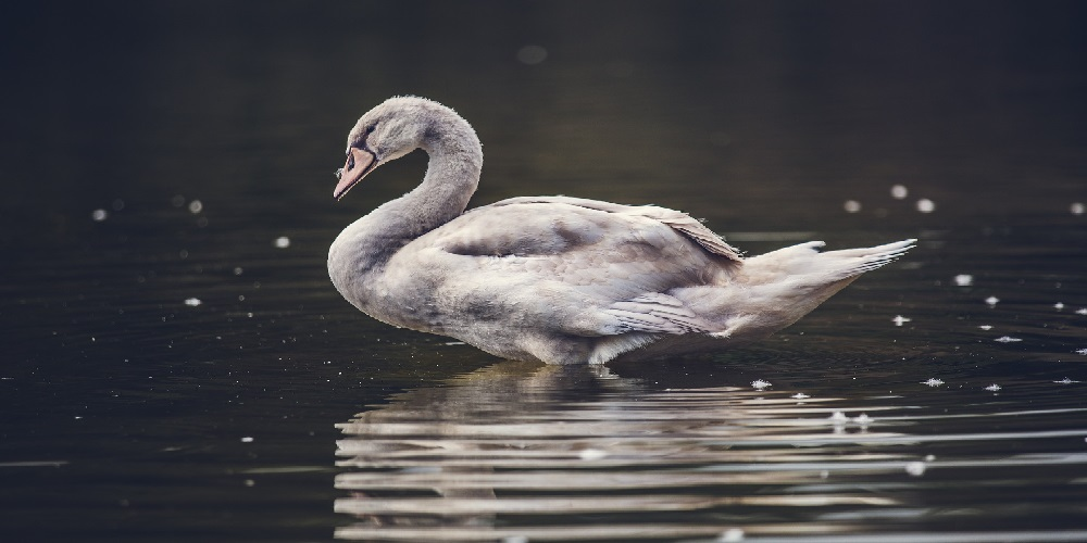 Grey Swans: The Impact of the Not-So-Improbable