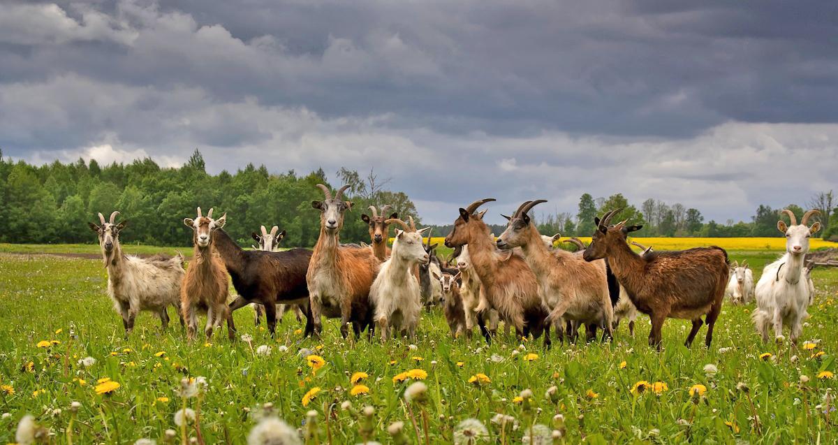 щеках козы в лесу картинки одного человека, веришь